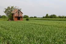 Workman's cottage surrounded by ripening wheat next to freshly planted field.
