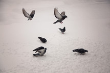 pigeons in snow