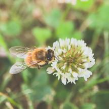 a bee on clover flower