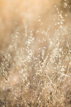 golden dried grasses