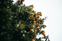 orange berries on a bush