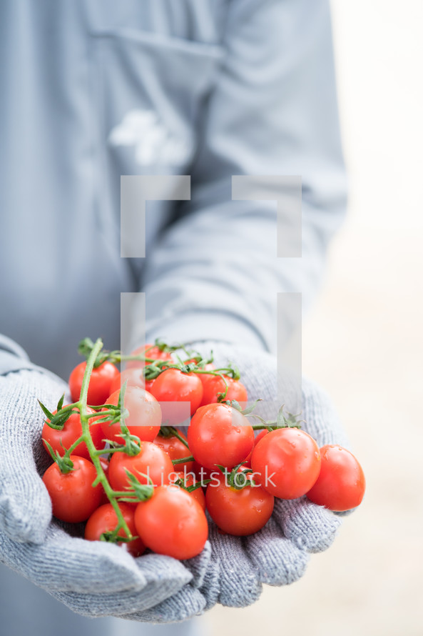 gloved hands holding cherry tomatoes
