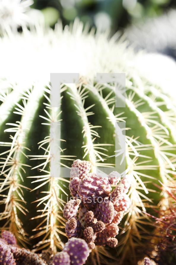 ball cactus closeup