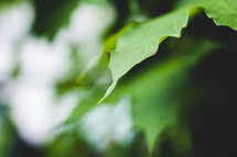 green leaves on a tree closeup