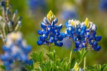 bluebonnets close-up