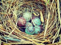 birds nest and eggs
