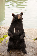 A black bear sitting by the water.