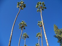 looking up to the tops of palm trees stretching out to the clear blue sky on a clear sunny day in Phoenix, Arizona.
