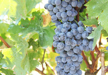 Close up of ripe grapes on a vine