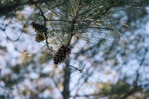 Pine cone in a tree.