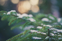 snow dusting a pine