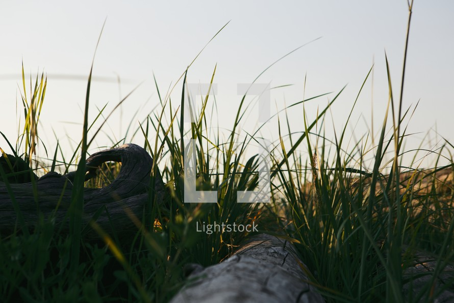 Driftwood in the grass.