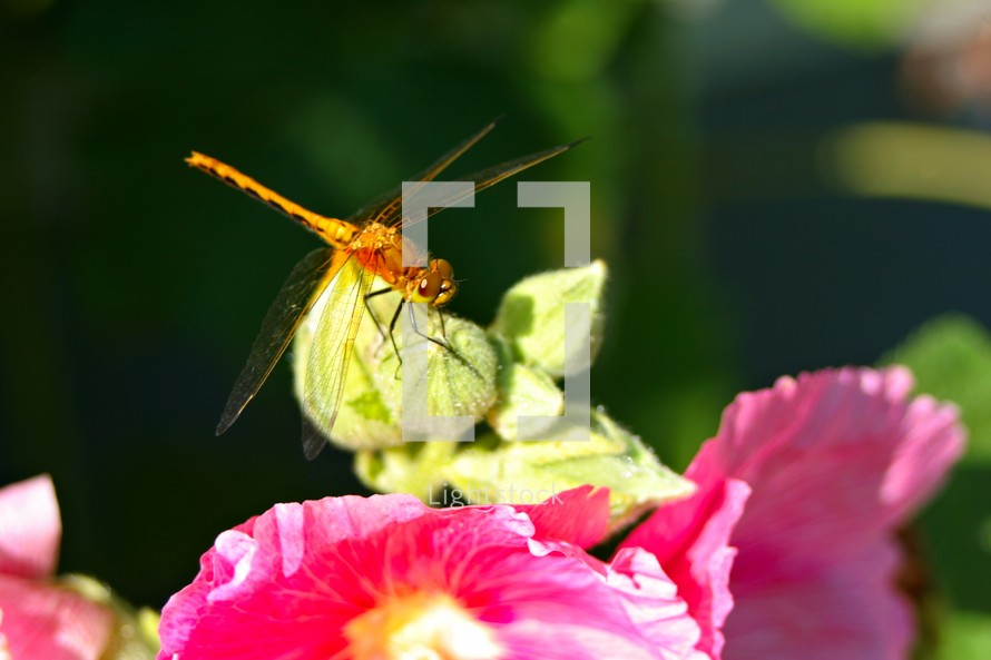 A dragonfly sitting on a pink flower