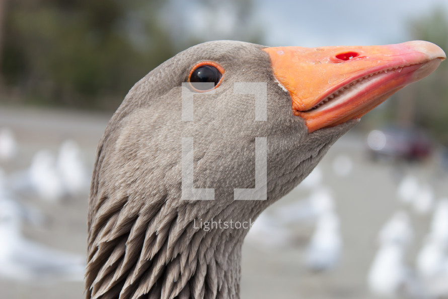 goose head and beak