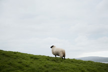 a sheep on hill