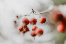 shallow focus berries with snow and branches