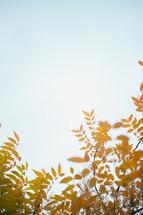 golden fall foliage