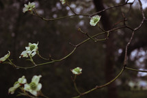 dogwood flowers on branches