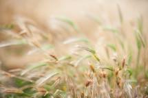 bokeh tall grasses