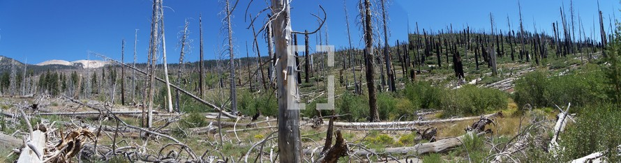 panoramic view of of dead trees in a forest