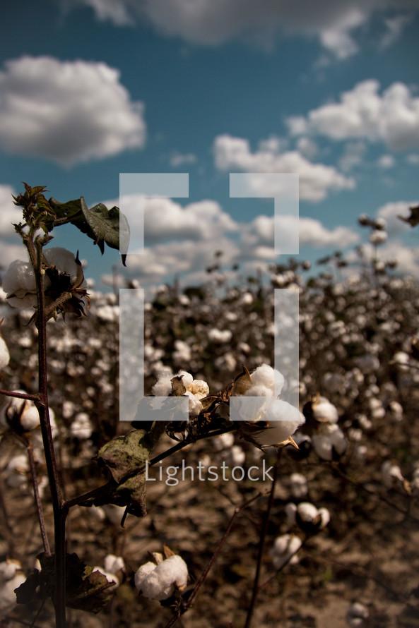 cotton growing in a field
