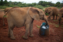 young elephant drinking water