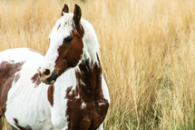 A brown and white horse in field