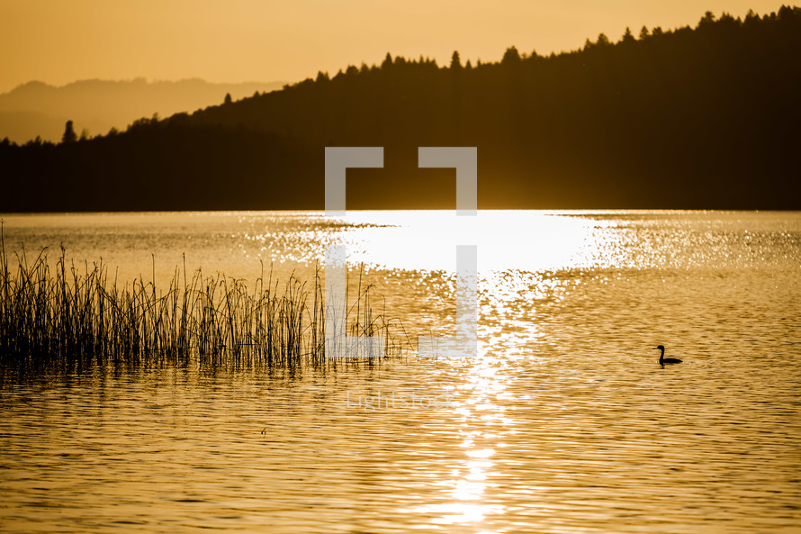 A lake lit by the setting sun duck tall grass reeds