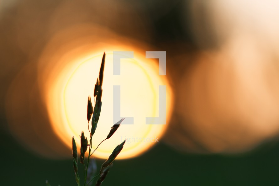 Stalk of grass with bright light in background.