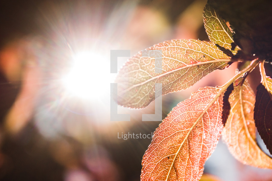 sunburst shining on leaves