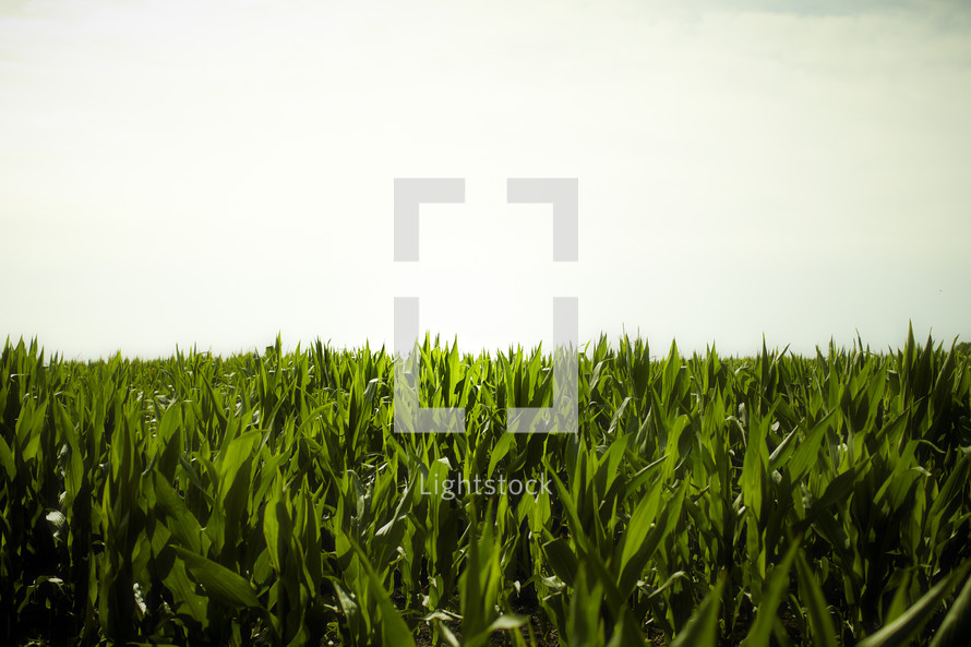 A field of crops awaiting harvest