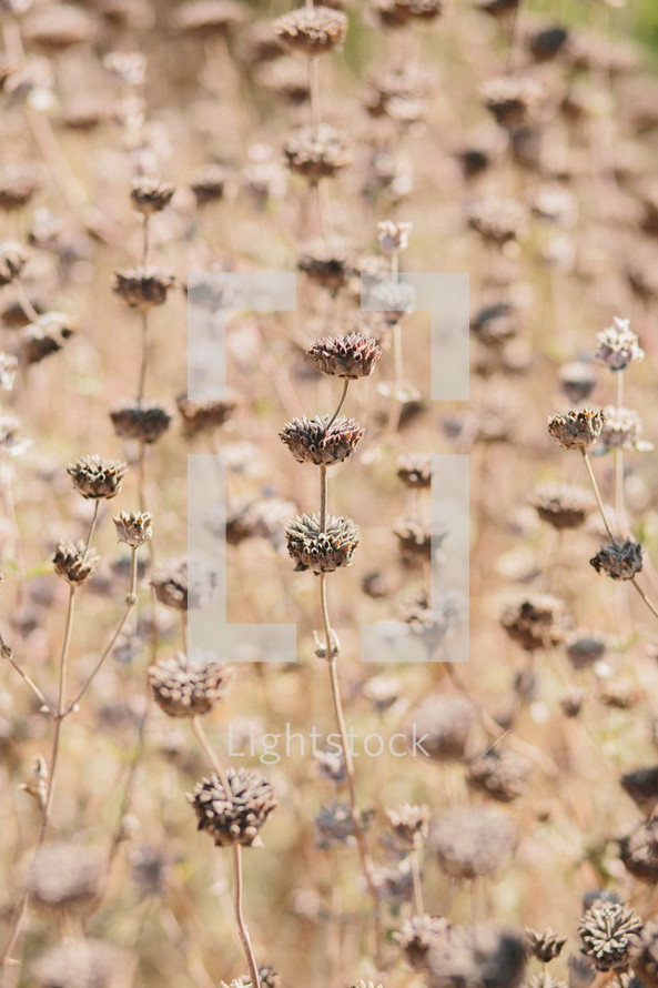 A field of dried flowers.