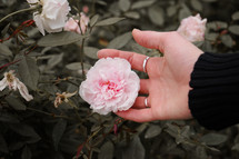 woman's hand touching a rose