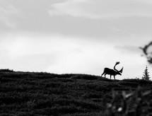 Silhouette of a caribou on a hillside.
