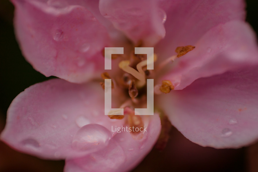 A flower with wet, pink petals