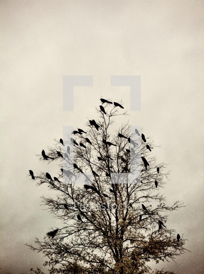 Blackbirds in barren tree