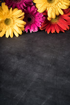 colorful gerber daisies on a black background