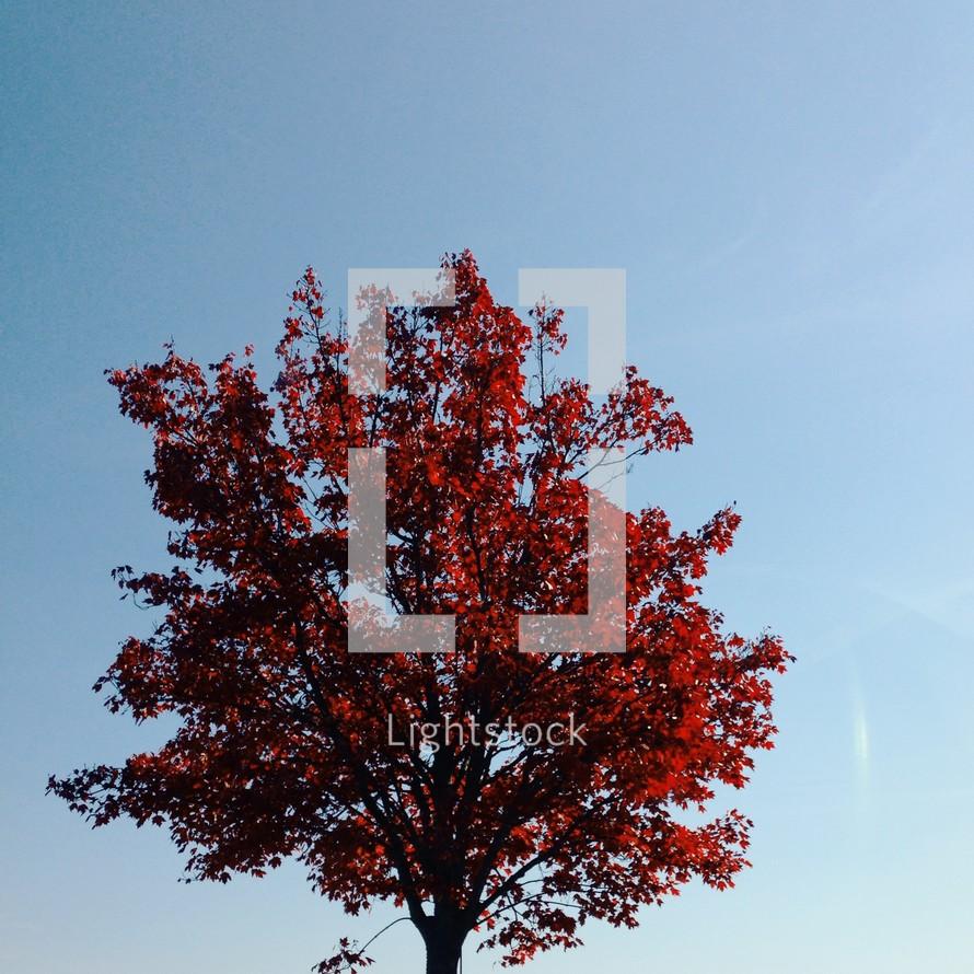 red fall tree