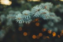 needles on spruce