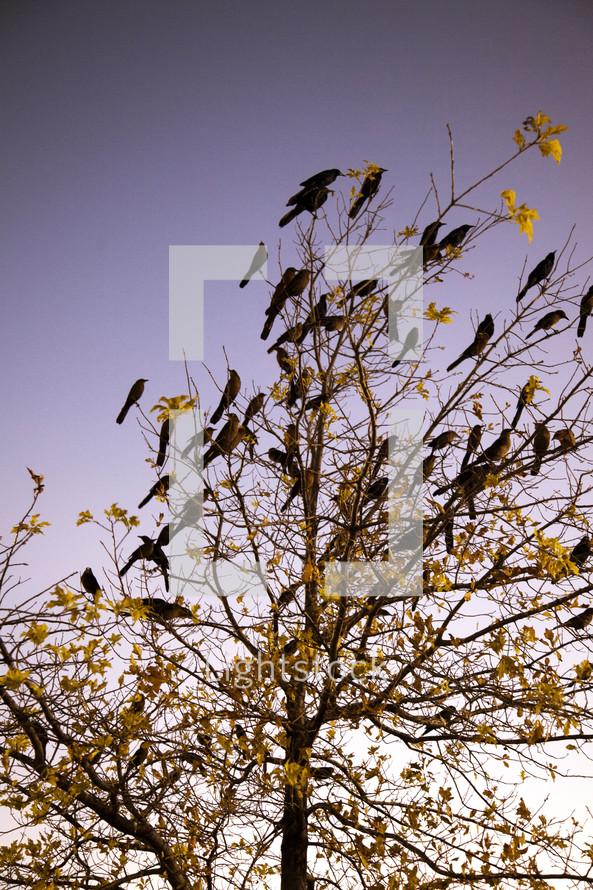 Black birds on barren tree branches