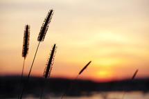 cattail at sunrise