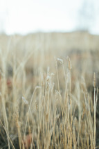 tall brown grasses outdoors