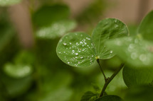 new fresh green leaves  clover with water dew
