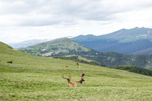 Deer laying in a grassy meadow.
