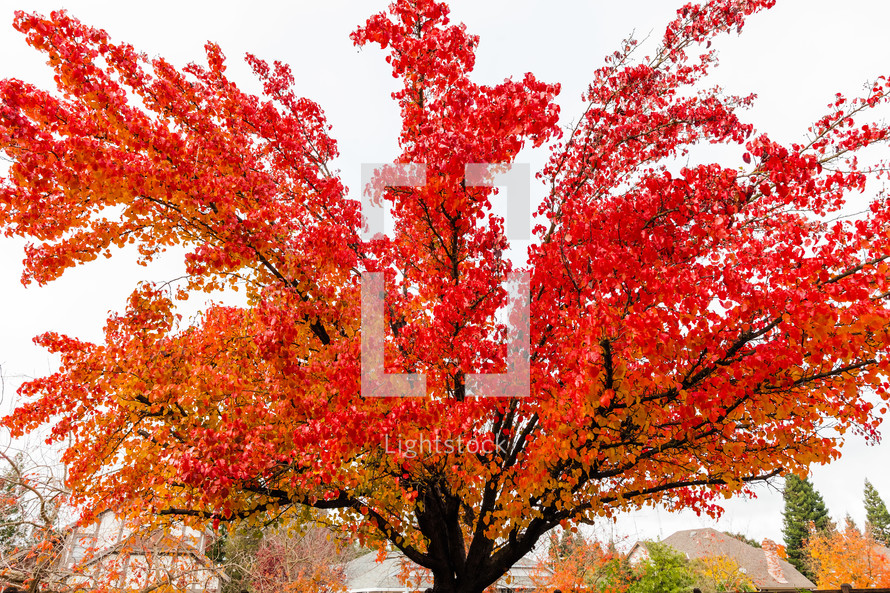 A tree with red leaves fall season