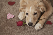 a puppy holding a rose for Valentines Day