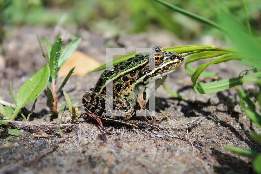 A leopard frog - F.R.O.G. (Fully Reliant On God)
