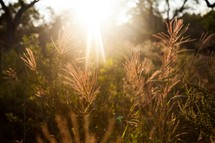 sunburst over tall grass