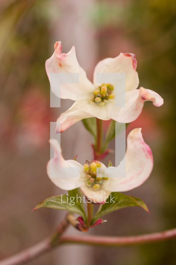 dogwood flowers in bloom