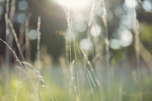 close up of tall grass in the sunlight.